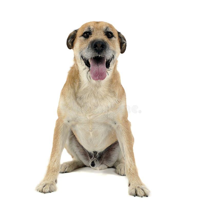 El color de Brown ató con alambre el perro mezclado pelo de la raza en un estudio blanco fotografía de archivo