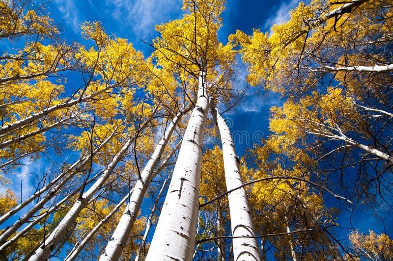 El color de la caída, árboles del álamo temblón, mira para arriba fotos de archivo libres de regalías