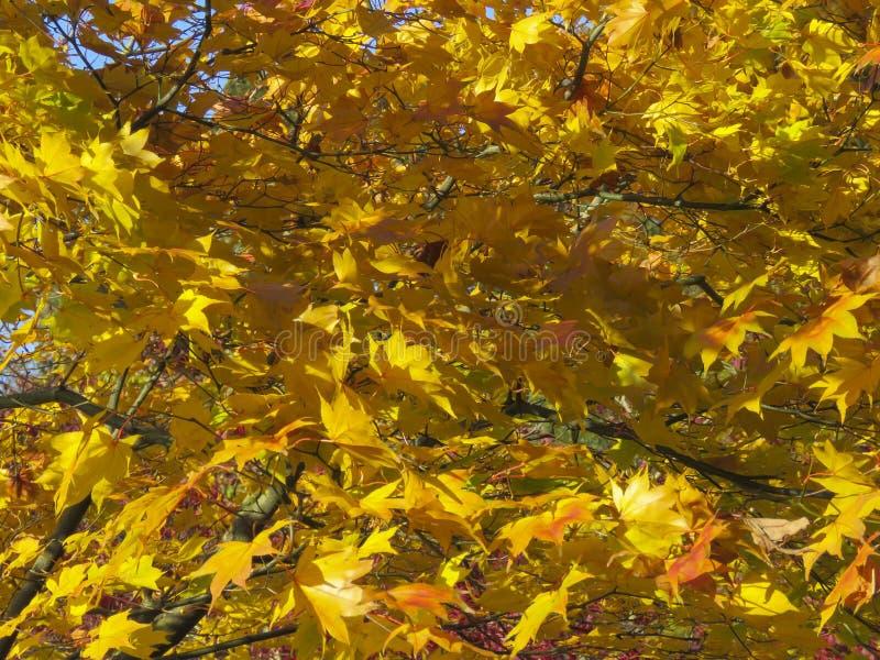 El color de las hojas del otoño/de la caída imagen de archivo