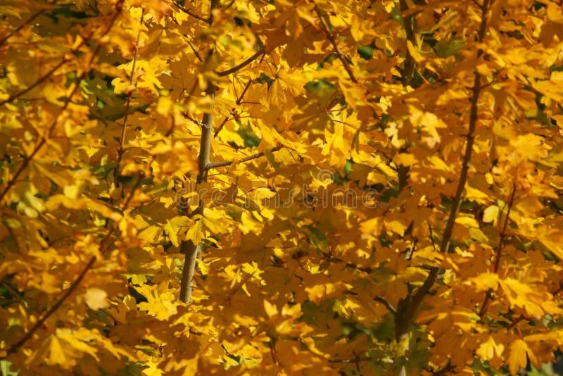 El color de las hojas del otoño/de la caída imagenes de archivo