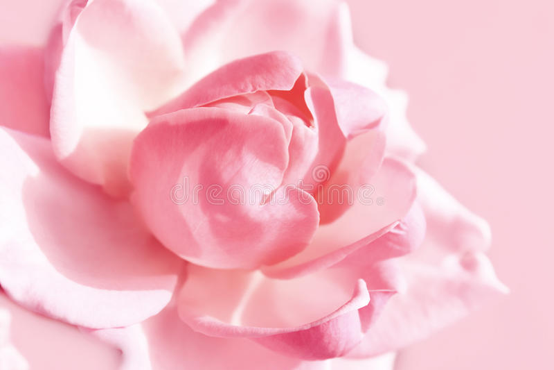 El color de rosa apacible se levantó