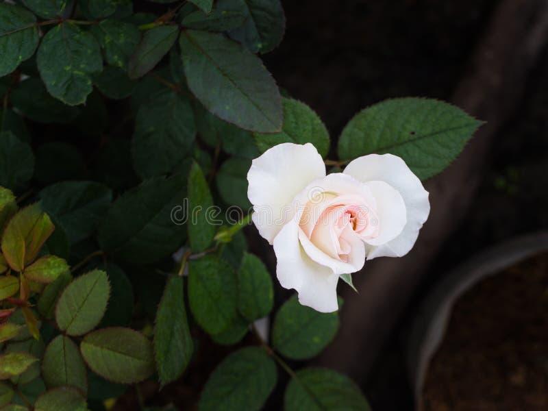 El color de rosa blanco se levantó imagenes de archivo