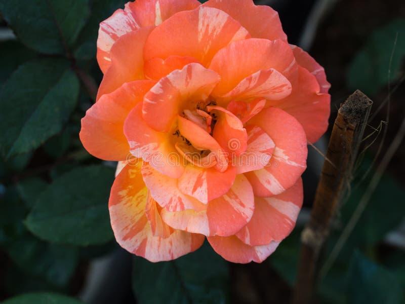 El color de rosa blanco se levantó imagen de archivo libre de regalías