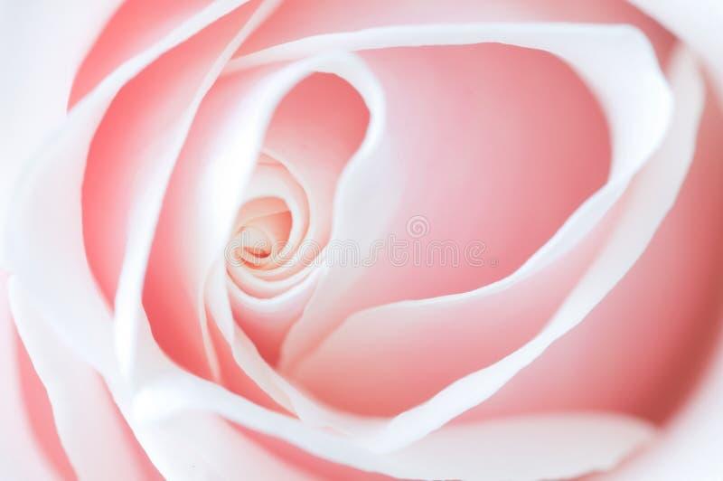 El color de rosa delicado se levantó fotos de archivo