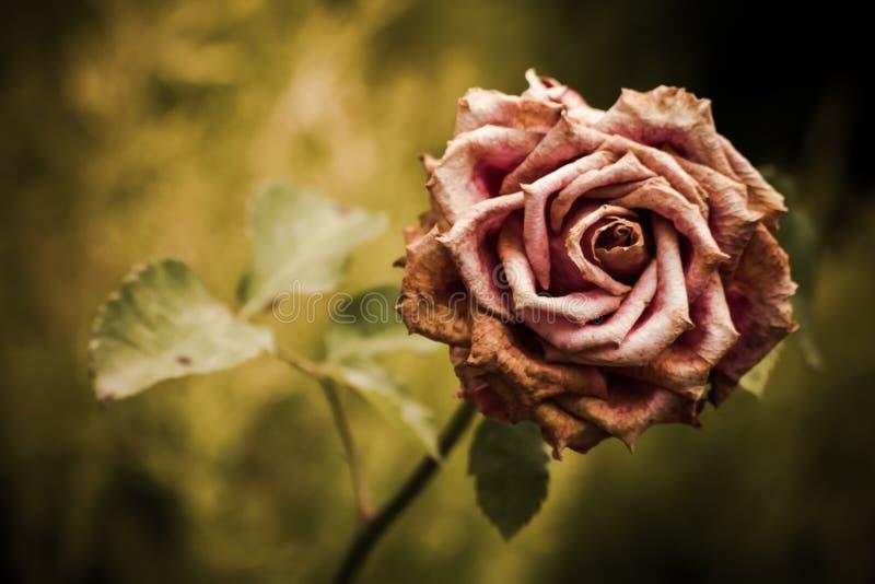 El color de rosa descolorado se levantó en un jardín imagen de archivo