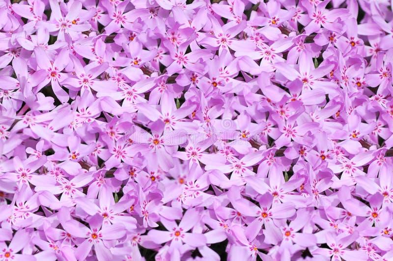El color de rosa florece el fondo foto de archivo