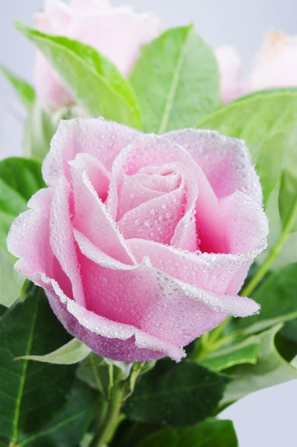El color de rosa hermoso se levantó foto de archivo libre de regalías