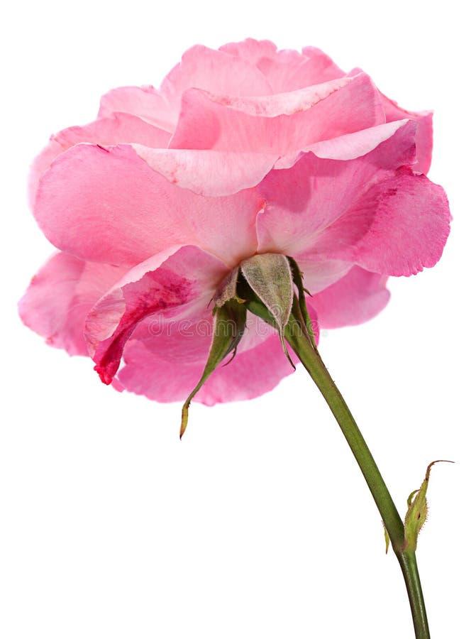 El color de rosa salvaje se levantó fotografía de archivo