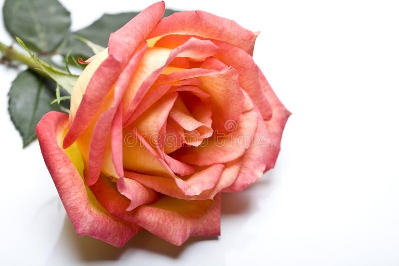 El color de rosa se levantó. imagenes de archivo