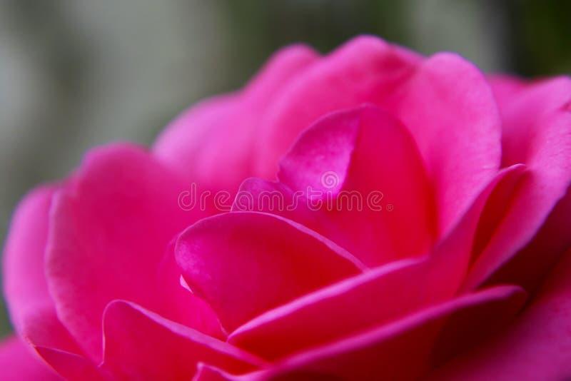 El color de rosa se levantó fotos de archivo libres de regalías
