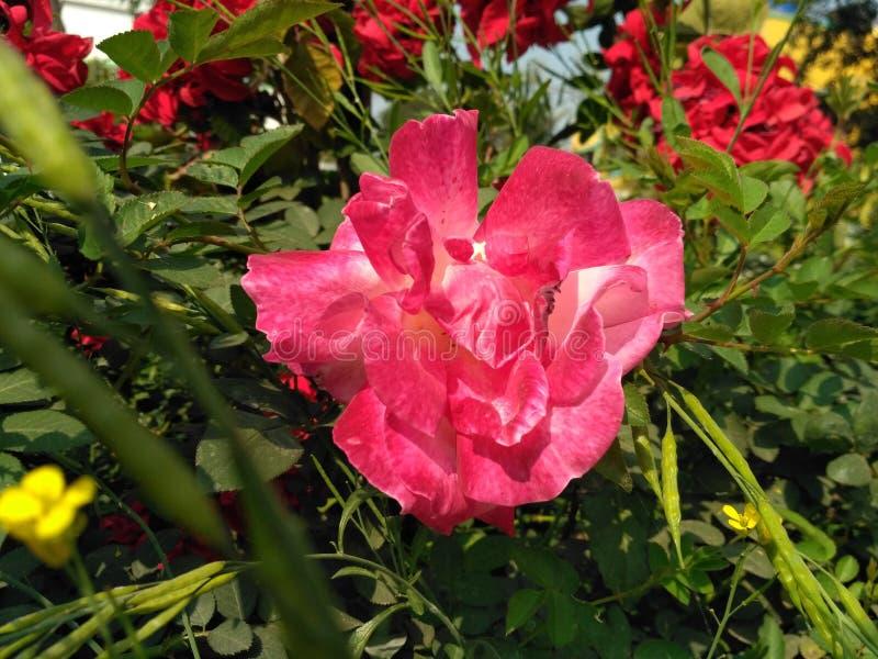 El color de rosa se levantó fotografía de archivo libre de regalías