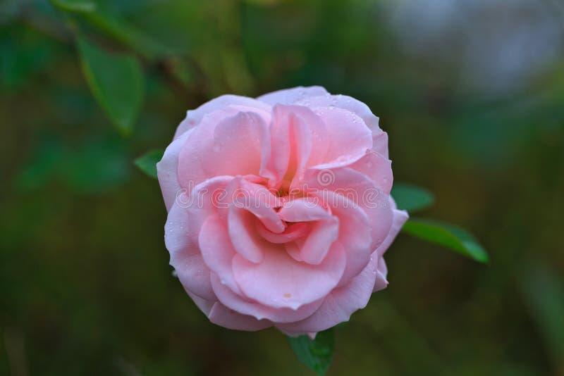 El color de rosa se levantó con gotas del agua imágenes de archivo libres de regalías
