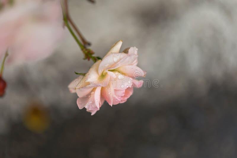 El color de rosa se levantó con gotas del agua imagen de archivo libre de regalías