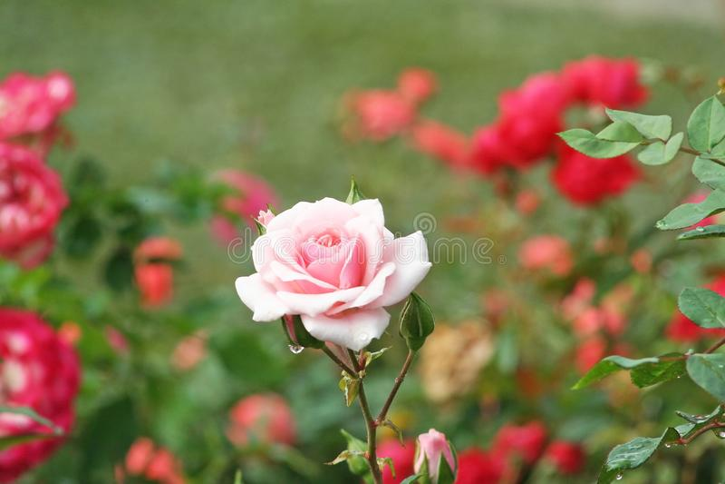 El color de rosa se levantó con gotas del agua fotos de archivo