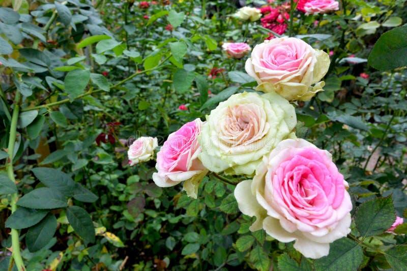 El color de rosa se levantó en jardín imagen de archivo libre de regalías