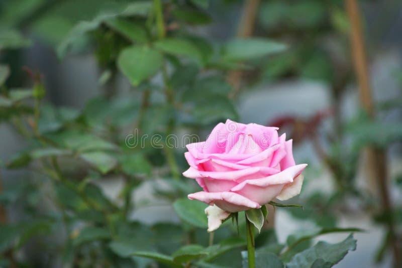 El color de rosa se levantó en jardín fotos de archivo