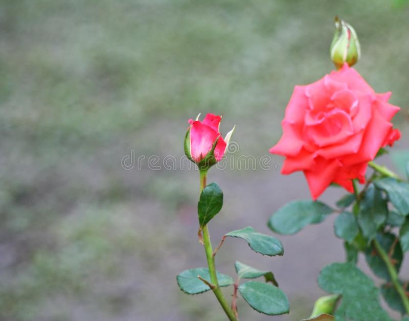 El color de rosa se levantó en jardín fotografía de archivo
