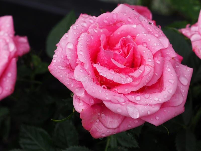 El color de rosa se levant? con gotas del agua fotos de archivo libres de regalías