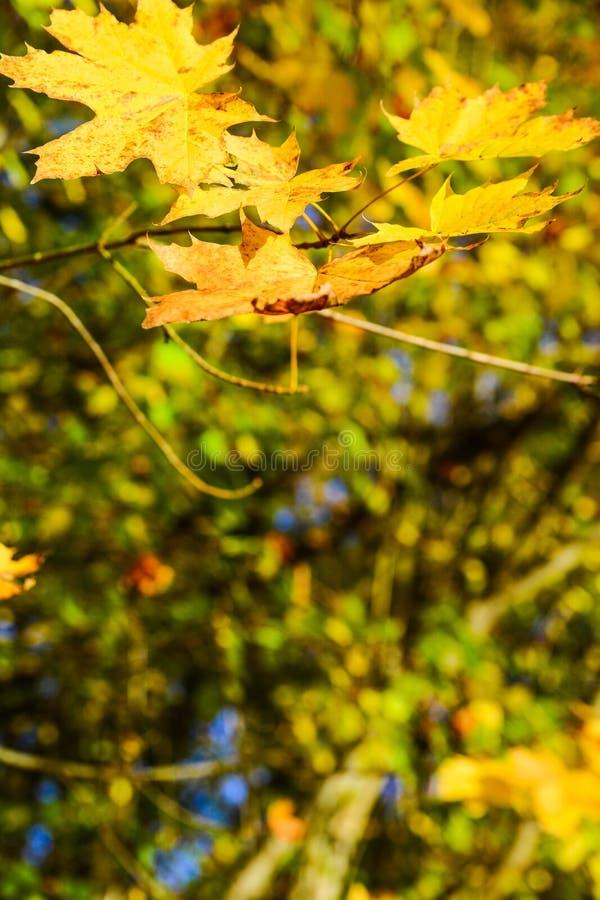 El color del otoño por la mañana fría los árboles es lleno de hojas hermosas imágenes de archivo libres de regalías