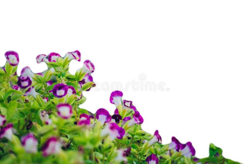 el color floral del puple en hermoso en al aire libre fotografía de archivo libre de regalías