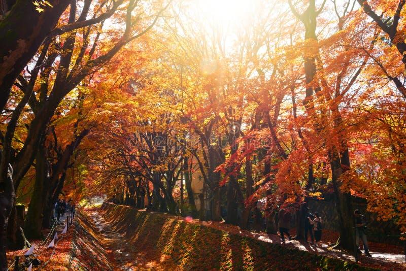 el color hermoso del otoño de las hojas de arce de Japón en corri del arce foto de archivo libre de regalías