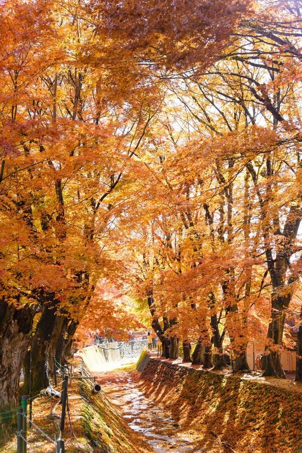 el color hermoso del otoño de las hojas de arce de Japón en corri del arce fotografía de archivo libre de regalías