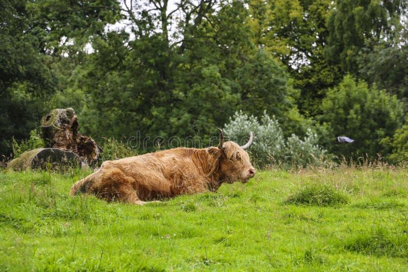 El color rojo de reclinación de la vaca de la montaña, Escocia, Reino Unido imagen de archivo
