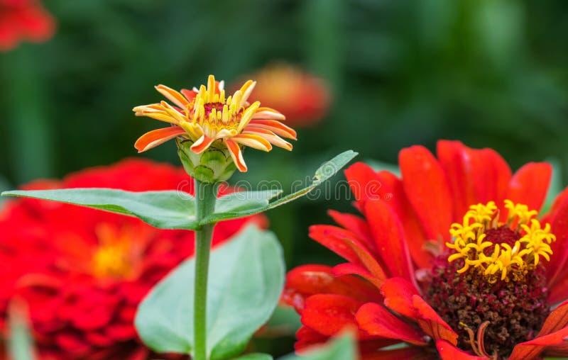 El color rojo del ynicism del  de la flor Ñ en el jardín Cyn rojo floreciente imagenes de archivo