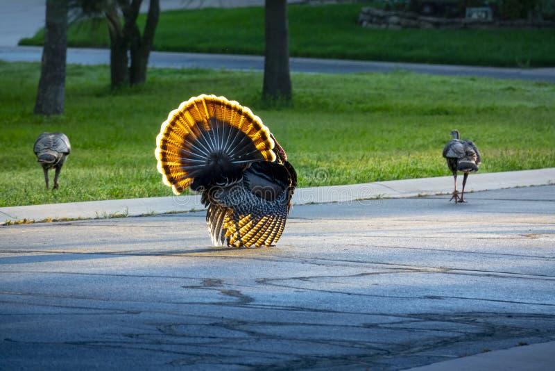 El Colorido Y Salvaje Tom Turkey Bajó Por La Calle Para Un Desfile Muy Colorido Del Día De Acción De Gracias fotografía de archivo libre de regalías
