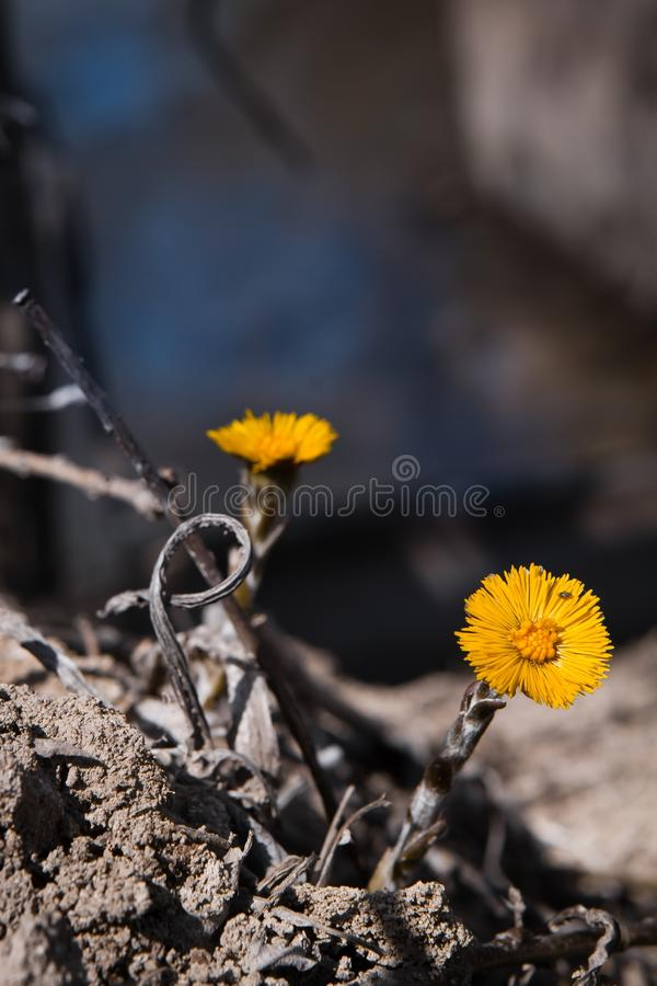 El Coltsfoot florece en un campo cerca de una pequeña cala enjoing un día soleado de la primavera imágenes de archivo libres de regalías