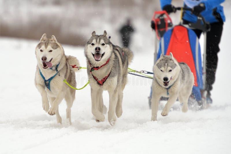 El competir con de perro de trineo foto de archivo libre de regalías