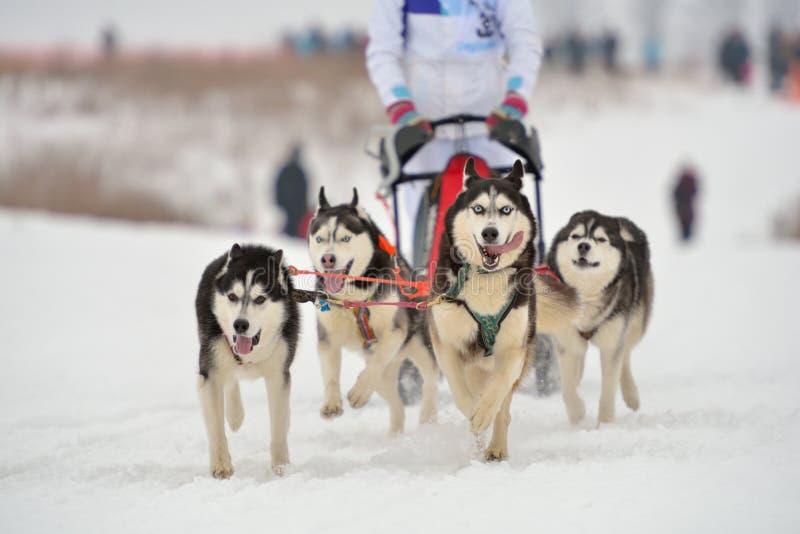 El competir con de perro de trineo foto de archivo
