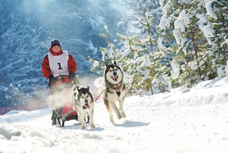 El competir con de perro fornido de trineo fotos de archivo