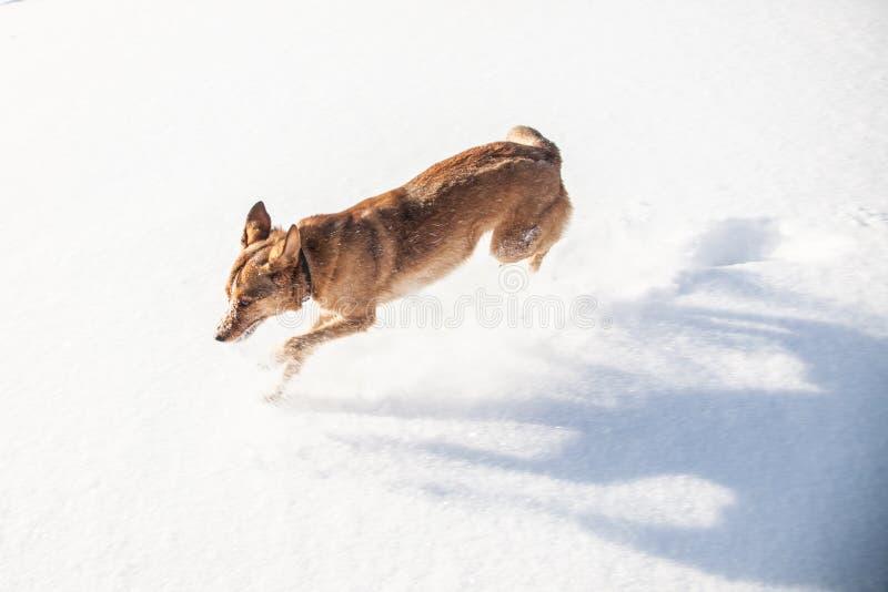 El competir con de perro rojo divertido a través de la nieve animal doméstico cubierto con nieve fotos de archivo