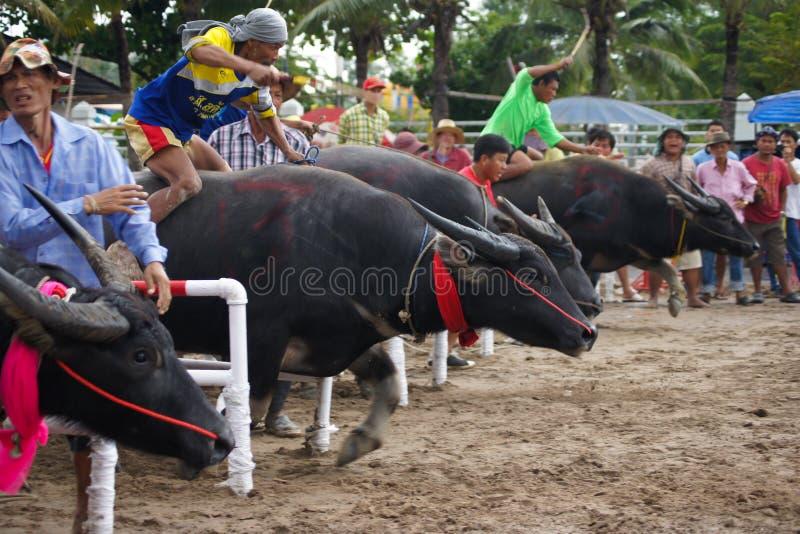 El competir con del búfalo del festival foto de archivo libre de regalías