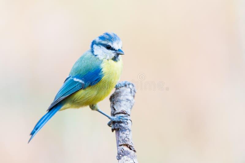 El comun del Tit azul o del herrerillo se encaramó en una rama, caer de Cyanistes imágenes de archivo libres de regalías