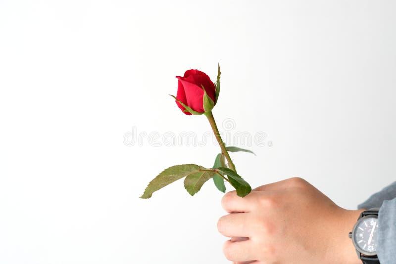 El concepto de la tarjeta del día de San Valentín, hombre da sostener la rosa del rojo en el backgroun blanco imágenes de archivo libres de regalías