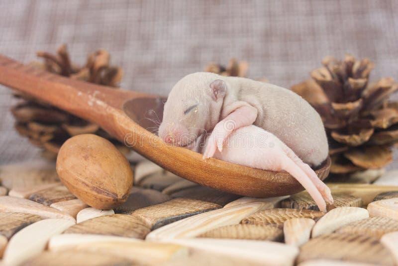 El concepto de miniatura Primer de las ratas de Cubs fotos de archivo libres de regalías