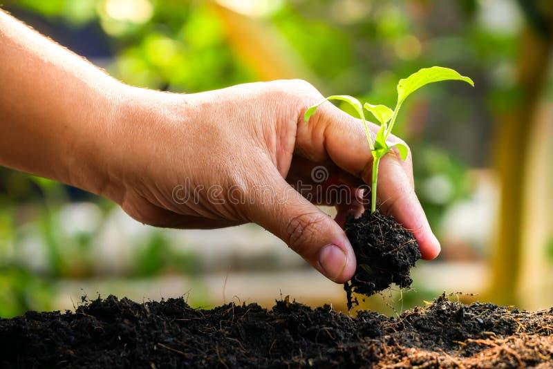 El concepto del crecimiento, manos está plantando los almácigos en el suelo imágenes de archivo libres de regalías