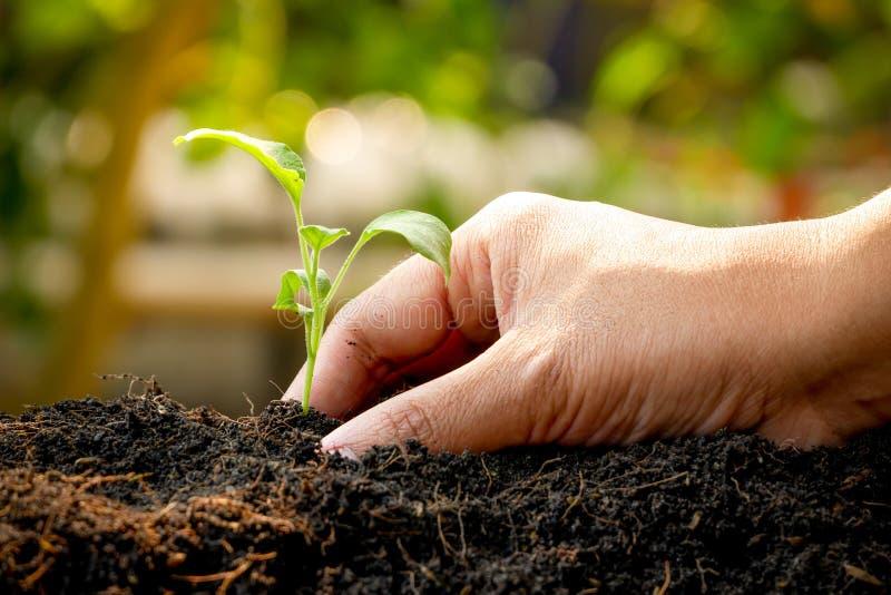 El concepto del crecimiento, manos está plantando los almácigos en el suelo fotografía de archivo libre de regalías