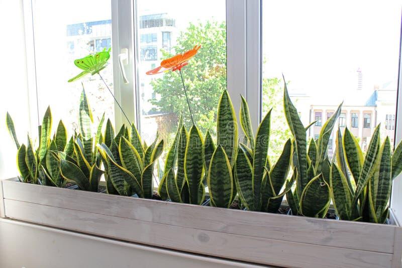 El concepto del hogar de toma el cuidado del sansevieria de las plantas interiores fotografía de archivo libre de regalías