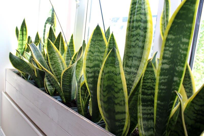 El concepto del hogar de toma el cuidado del sansevieria de las plantas interiores imagenes de archivo