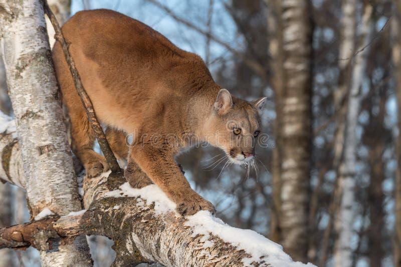 El concolor del puma del puma de la hembra adulta camina abajo de rama del abedul imágenes de archivo libres de regalías