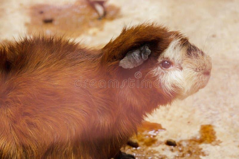 El conejillo de Indias es un mam?fero del cuteness foto de archivo libre de regalías