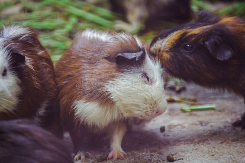 El conejillo de Indias es un mam?fero del cuteness fotografía de archivo libre de regalías