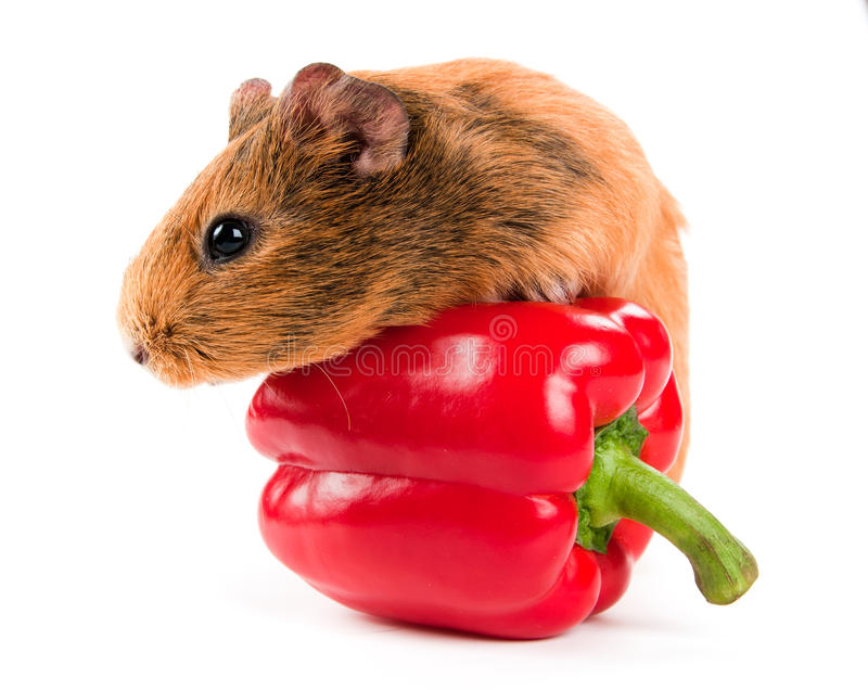 El conejillo de Indias y una pimienta roja fotografía de archivo