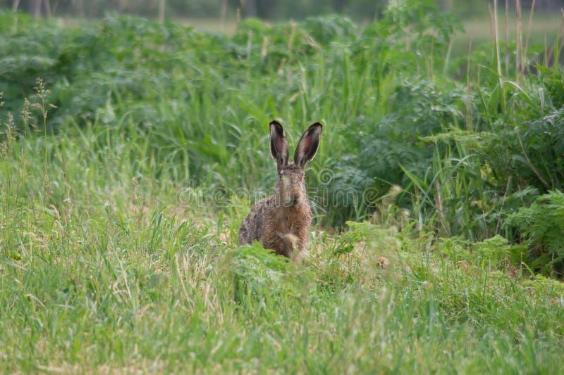 El conejo fotos de archivo libres de regalías