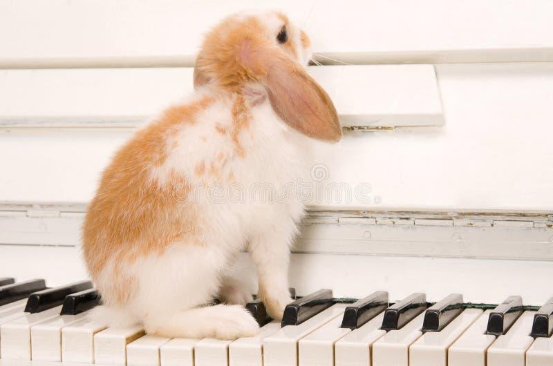 El conejo blanco se sienta en los claves del piano fotos de archivo