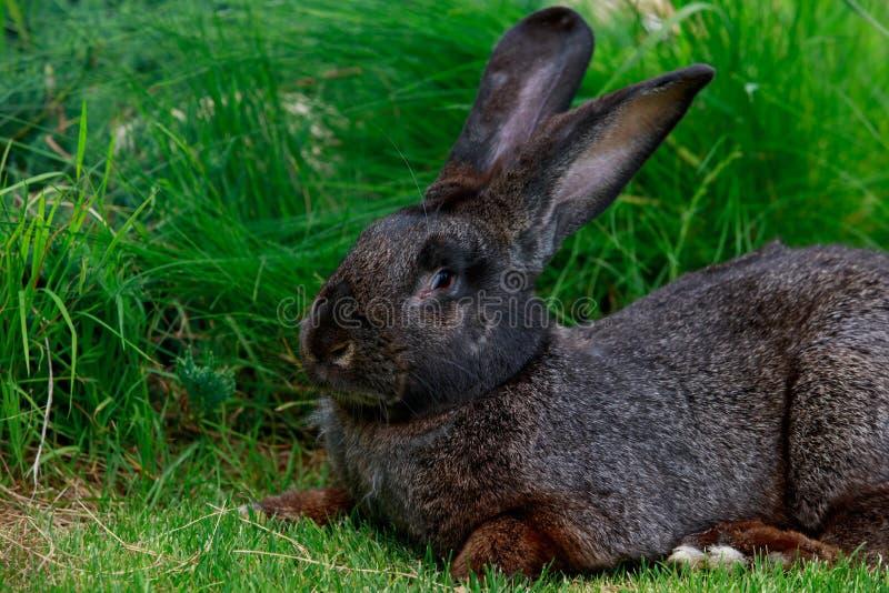 El conejo gris fotografía de archivo libre de regalías