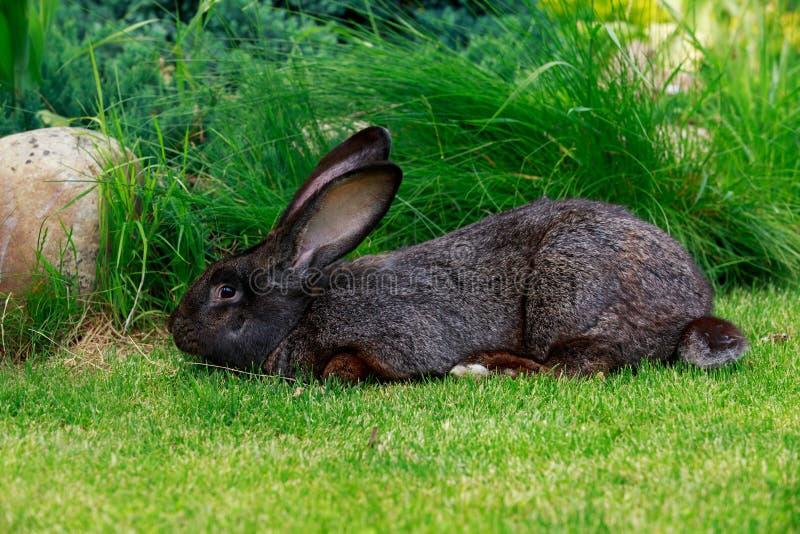 El conejo gris imagenes de archivo